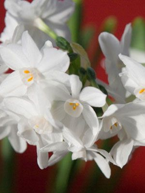 Paperwhite narcissus flower blooms