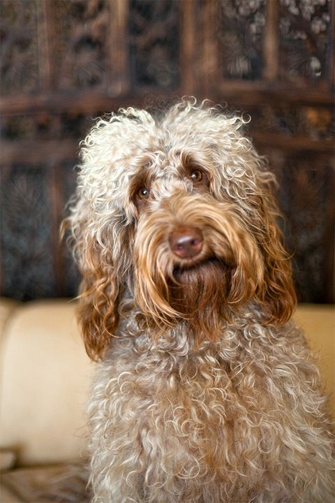 Brumby the Labradoodle smiles for a pet portrait.