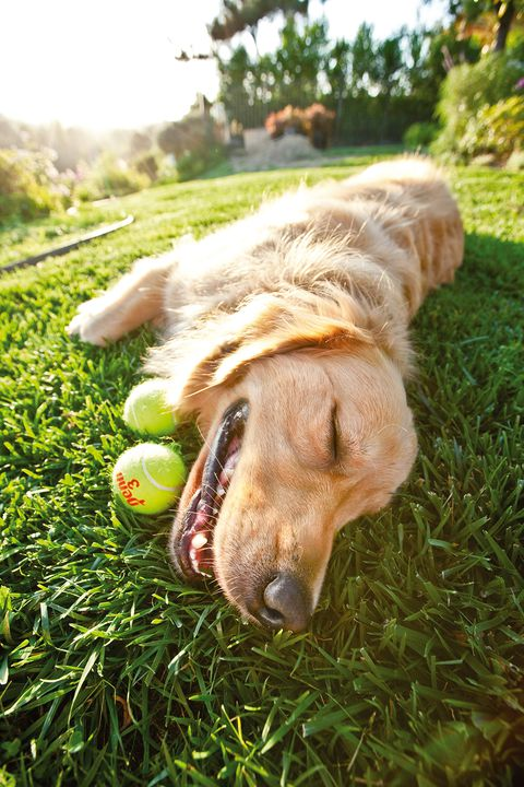 Jackson the Golden Retriever smiles for a pet portrait with a tennis ball.